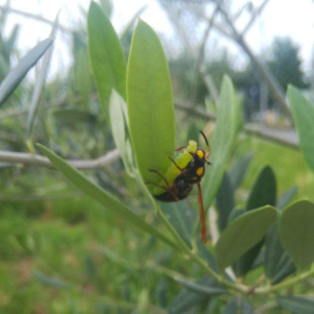 アシナガバチがハマキムシを捕食